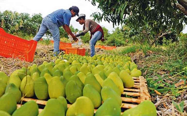 nayarit-desperdicia-50-de-su-produccion-de-frutas