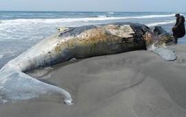 ballena-jorobada-muerta-es-encontrada-en-playas-de-chiapas