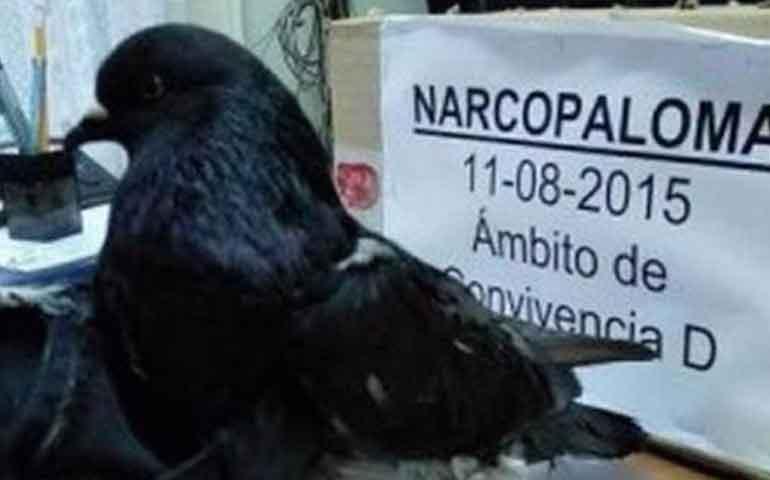 detienen-a-una-narcopaloma-que-introducia-droga-a-carcel-de-costa-rica