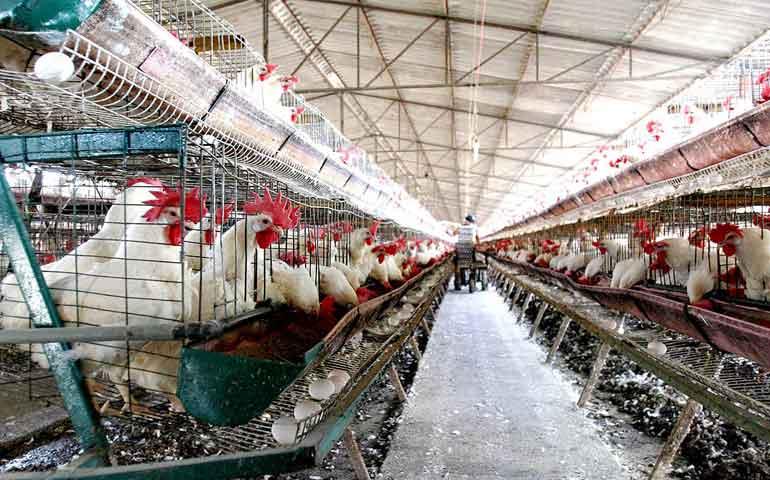 sacrifican-a-mas-de-500-mil-aves-por-gripe-aviar-en-sinaloa