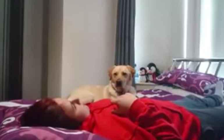 video-perrita-labrador-pone-a-salvo-a-su-duena