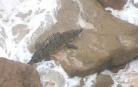 capturan-a-un-cocodrilo-en-una-playa-de-mazatlan