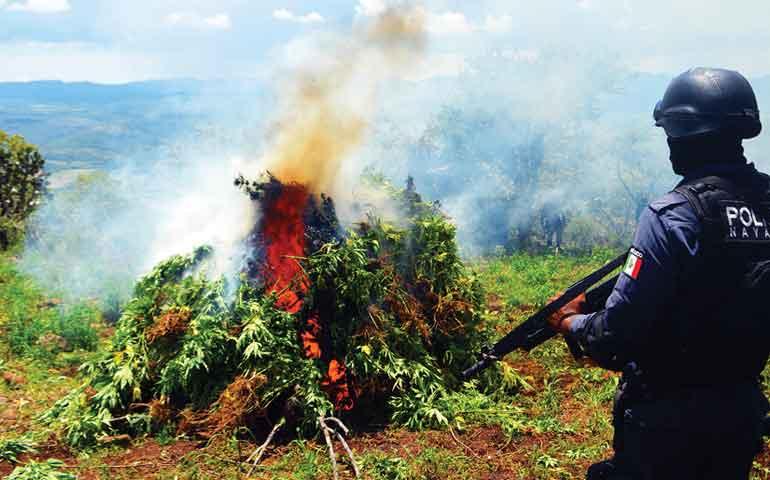 destruye-113-toneladas-de-marihuana-en-ixtlan-del-rio