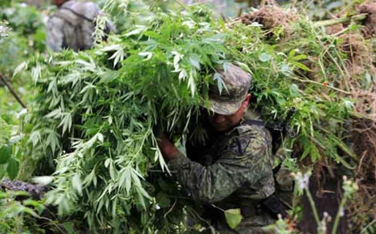 destruye-el-ejercito-4-5-hectareas-de-marihuana-en-ixtlan-del-rio