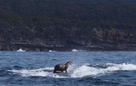 se-viraliza-foto-de-lobo-marino-surfeando-sobre-ballena-en-australia