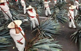 jalisco-impone-record-guinness-con-251-jimadores-de-agave