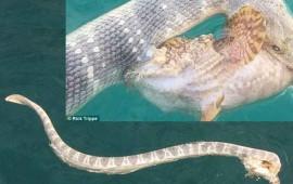la-batalla-entre-una-serpiente-marina-venonosa-y-un-pez-piedra-venenoso-se-vuelve-viral