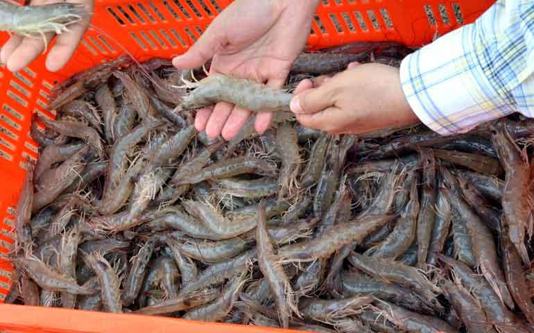 mojarra-y-camaron-encabezan-produccion-pesquera-en-nayarit
