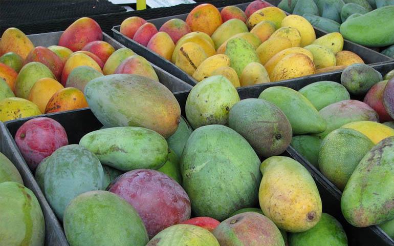 nayarit-entre-los-principales-productores-de-mango-jicama-y-cana
