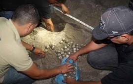 rescatan-mas-de-3-mil-huevos-de-tortuga-marina-en-jalisco