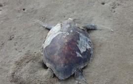 36-mamiferos-marinos-y-tortugas-son-encontrados-muertos-sinaloa