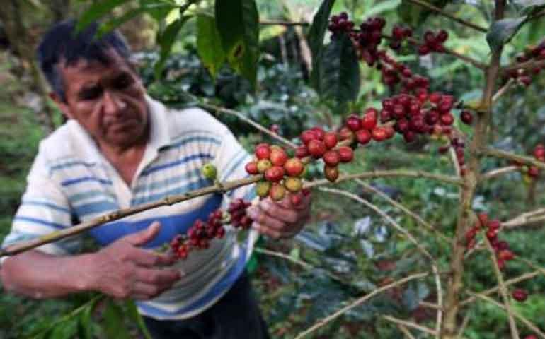cafe-de-nayarit-utilizado-para-mejorar-mezclas-de-otros-estados