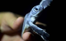 capturan-a-mujer-con-45-tortugas-dentro-de-dos-maletas