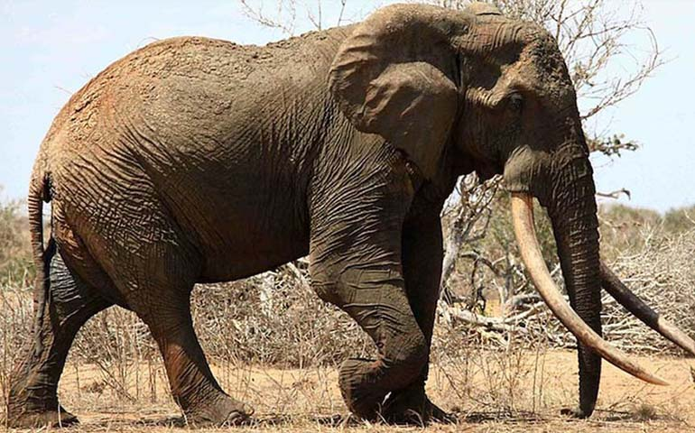 cazador-aleman-abate-a-uno-de-los-elefantes-mas-grandes-conocidos