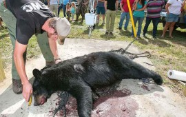 cazan-a-mas-de-200-osos-durante-el-primer-dia-de-temporada-en-eu