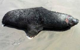 investigan-el-encallamiento-de-delfines-y-tortugas-en-sinaloa