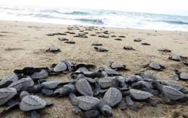 protege-gobierno-de-nayarit-a-la-tortuga-marina