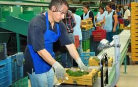 aguacate-nayarita-se-comercializa-en-espana-singapur-marruecos-holanda-y-francia