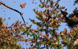 arriban-mariposas-monarcas-a-bosques-del-estado-de-mexico