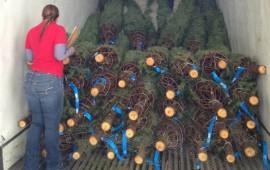 impide-ingreso-a-mas-de-3-mil-arboles-de-navidad-por-plaga