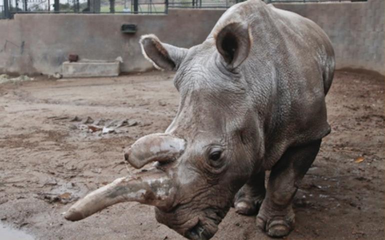 muere-rinoceronte-blanco-en-zoologico-solo-quedan-3-ejemplares-en-el-mundo