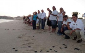 tortuga-golfina-protegida-por-12-anos-en-nayarit