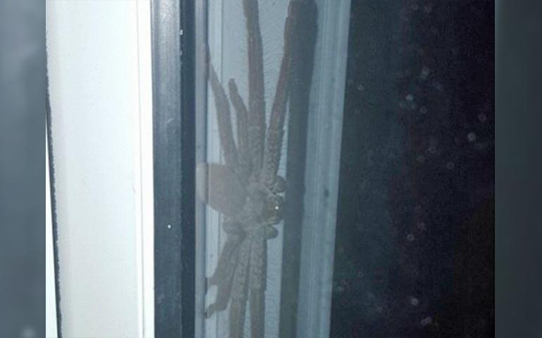 arana-gigante-es-captada-a-las-afueras-de-una-casa-en-australia