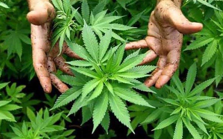 colombia-aprueba-produccion-y-uso-de-mariguana-con-fines-medicinales