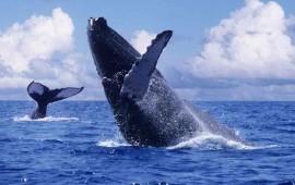 comenzo-el-espectaculo-de-las-ballenas-jorobadas-en-riviera-nayarit