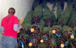 llegan-de-eu-miles-de-arboles-de-navidad-con-plagas-exoticas