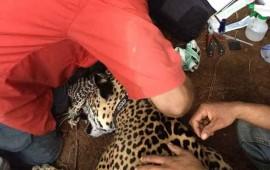 colocan-primer-collar-gps-a-un-jaguar-en-riviera-nayarit