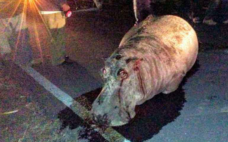 hipopotamo-escapa-de-zoologico-y-muere-atropellado