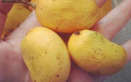 investigadores-prolongan-vida-del-mango-nino