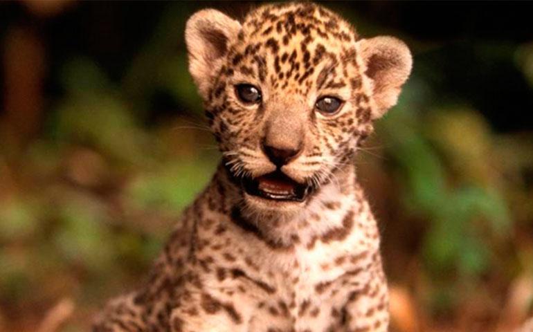 nacen-en-nayarit-dos-crias-de-jaguar-en-cautiverio