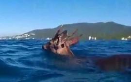 rescatan-a-venado-que-nadaba-en-mar-de-jalisco
