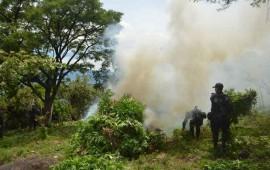 veinte-plantios-de-mariguana-son-destruidos-en-ixtlan-del-rio