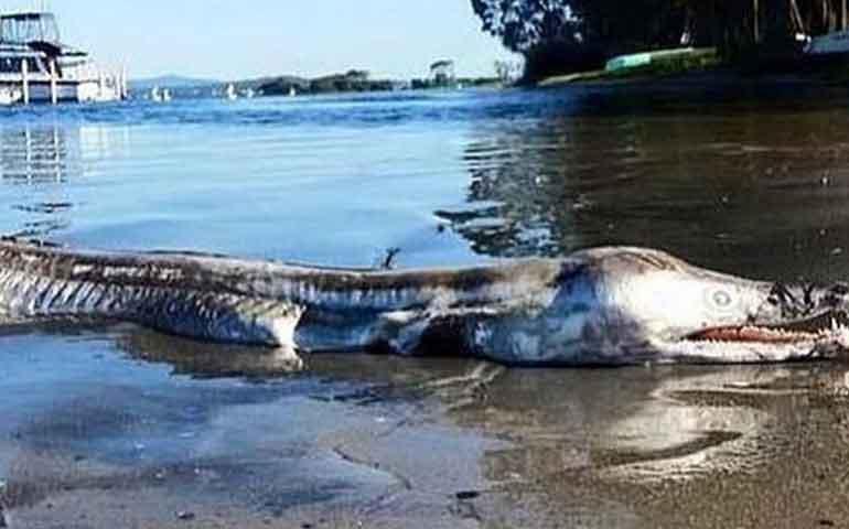 aparece-enorme-y-aterrador-monstruo-marino-en-las-playas-de-australia