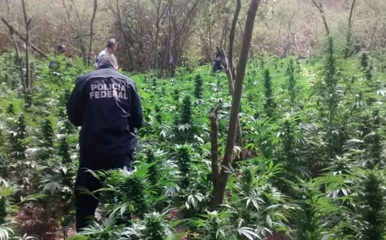 destruyen-9-plantios-de-amapola-y-marihuana