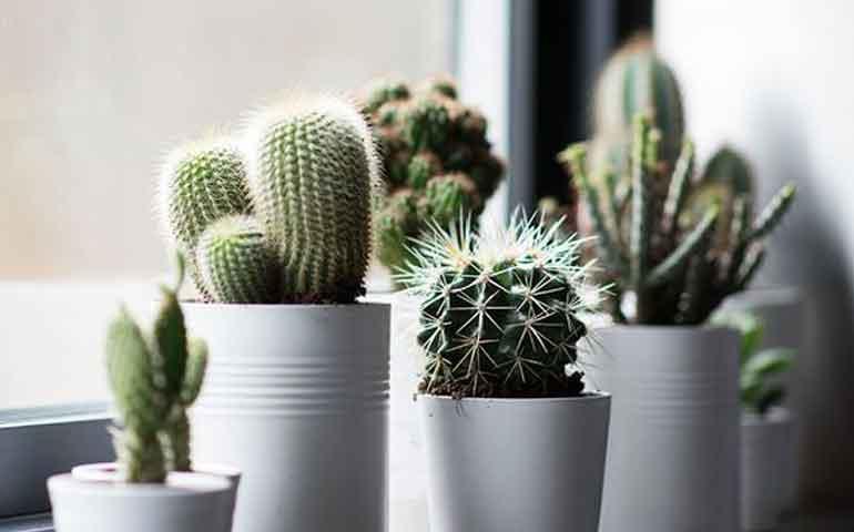 plantas-negativas-que-no-debes-tener-en-tu-hogar-segun-el-feng-shui