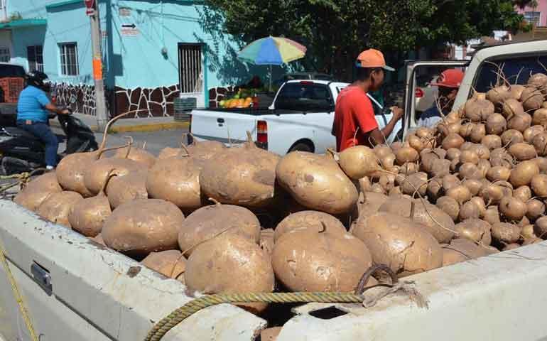nayarit-de-los-mayores-productores-de-jicama-en-el-pais