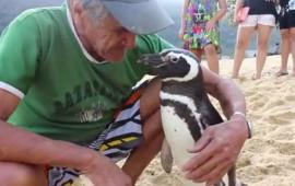 pinguino-nada-para-encontrarse-con-hombre-que-lo-rescato