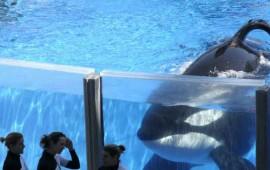 seaworld-cancela-sus-espectaculos-de-orcas-y-criadero