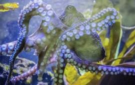 al-estilo-chapo-pulpo-escapa-de-acuario-en-nueva-zelanda