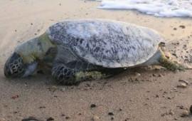 hallan-50-tortugas-muertas-en-puerto-vallarta