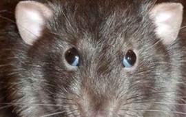 rata-sale-del-excusado-para-morder-a-un-anciano-que-hacia-del-bano