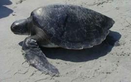 reportan-muerte-masiva-de-tortugas-en-guerrero111