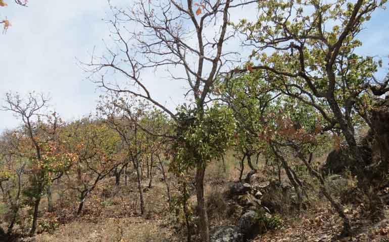 combatira-la-conafor-plagas-forestales-en-nayarit