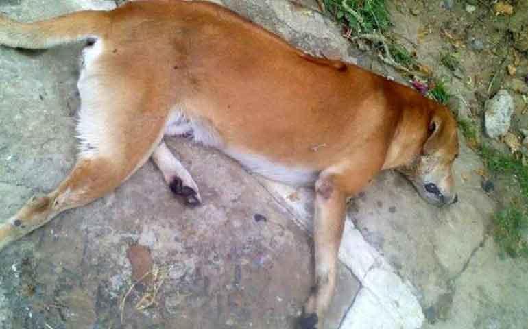 denuncian-envenenamiento-masivo-de-mascotas-en-xalisco