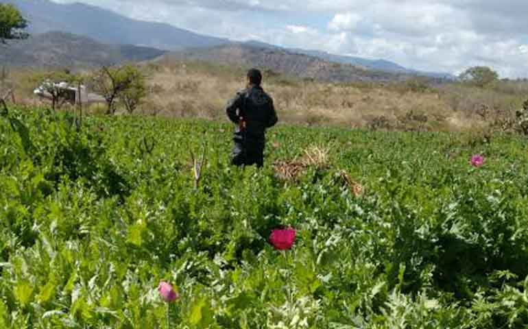 destruyo-pgr-8-plantios-de-amapola-durante-mayo