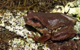 hallan-nueva-especie-de-rana-de-arbol-en-reserva-ecologica-en-nayarit